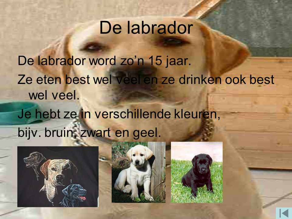De labrador De labrador word zo'n 15 jaar.