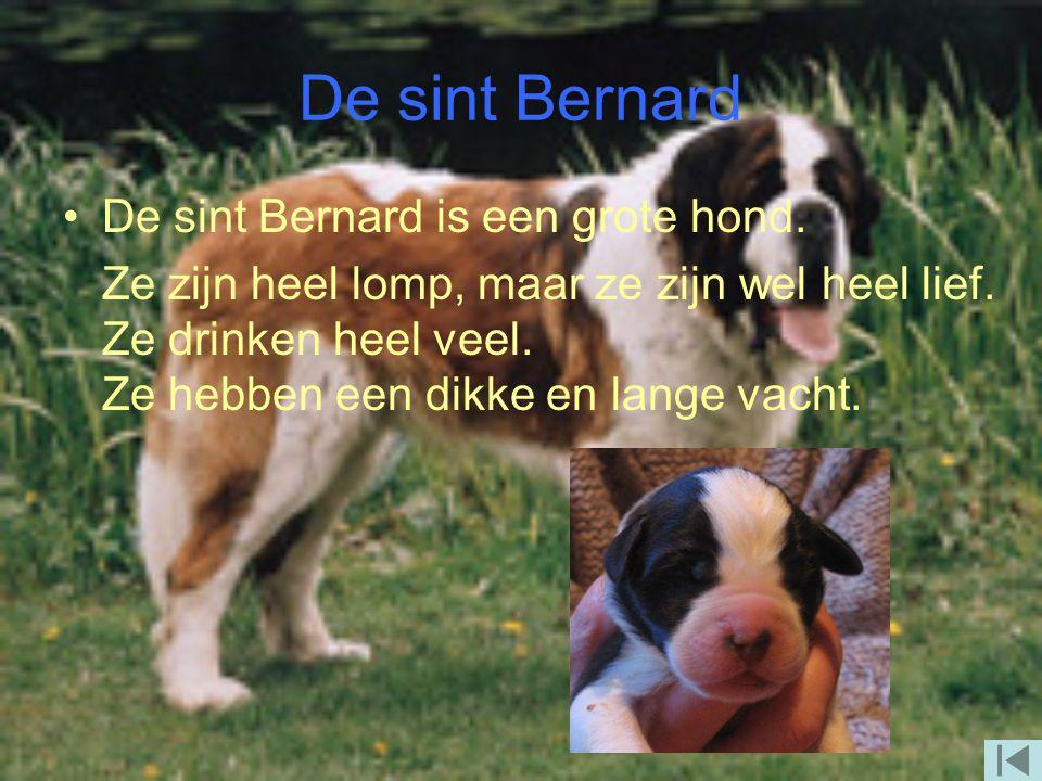 De sint Bernard De sint Bernard is een grote hond.