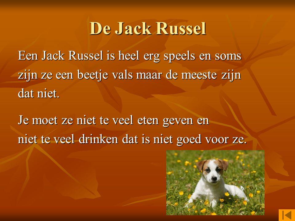 De Jack Russel Een Jack Russel is heel erg speels en soms