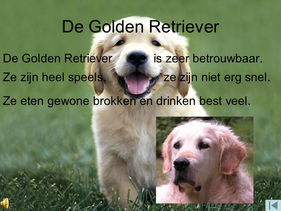 De Golden Retriever De Golden Retriever is zeer betrouwbaar.