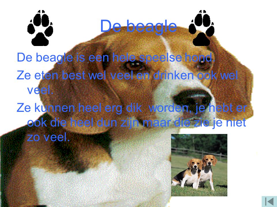 De beagle De beagle is een hele speelse hond.