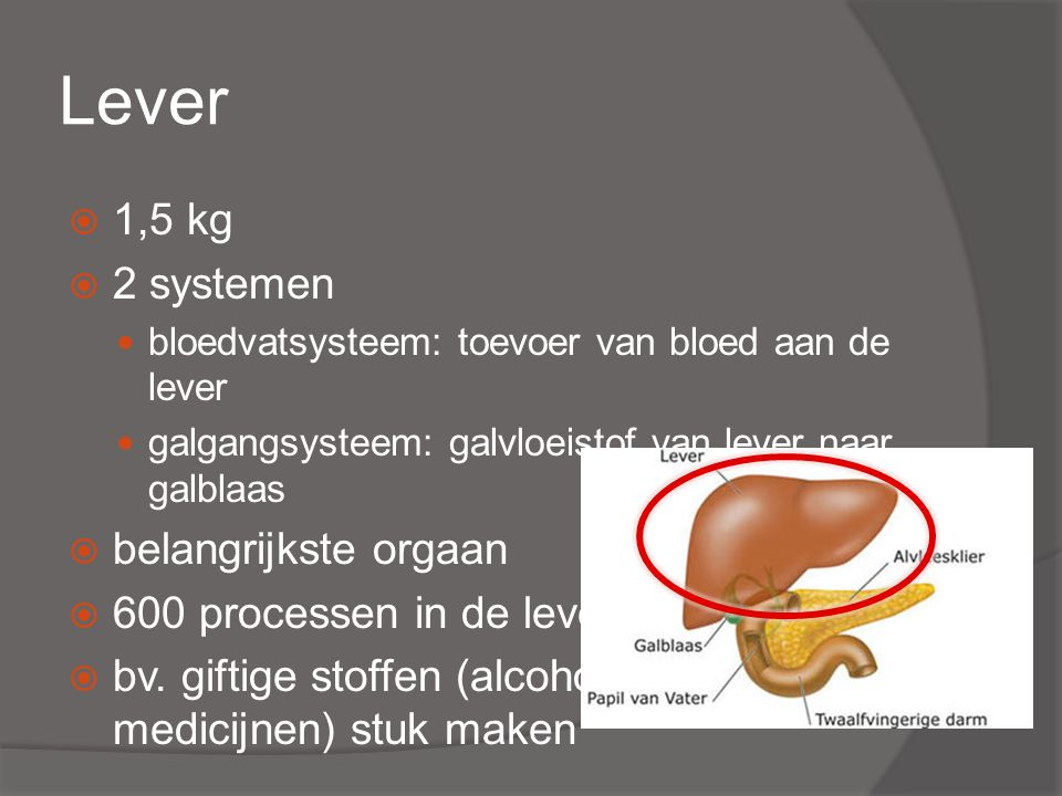 Lever 1,5 kg 2 systemen belangrijkste orgaan 600 processen in de lever
