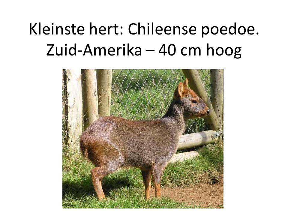 Kleinste hert: Chileense poedoe. Zuid-Amerika – 40 cm hoog