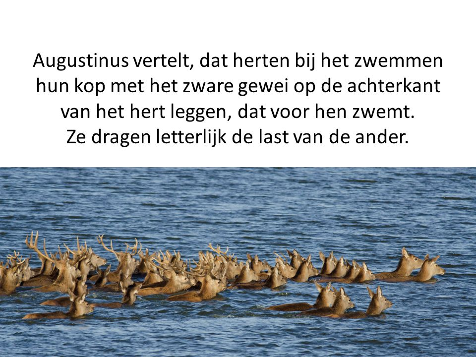 Augustinus vertelt, dat herten bij het zwemmen hun kop met het zware gewei op de achterkant van het hert leggen, dat voor hen zwemt.