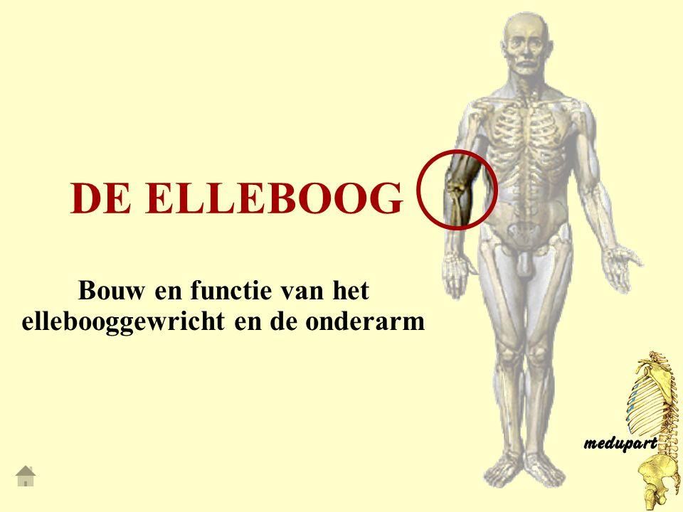 Bouw en functie van het ellebooggewricht en de onderarm