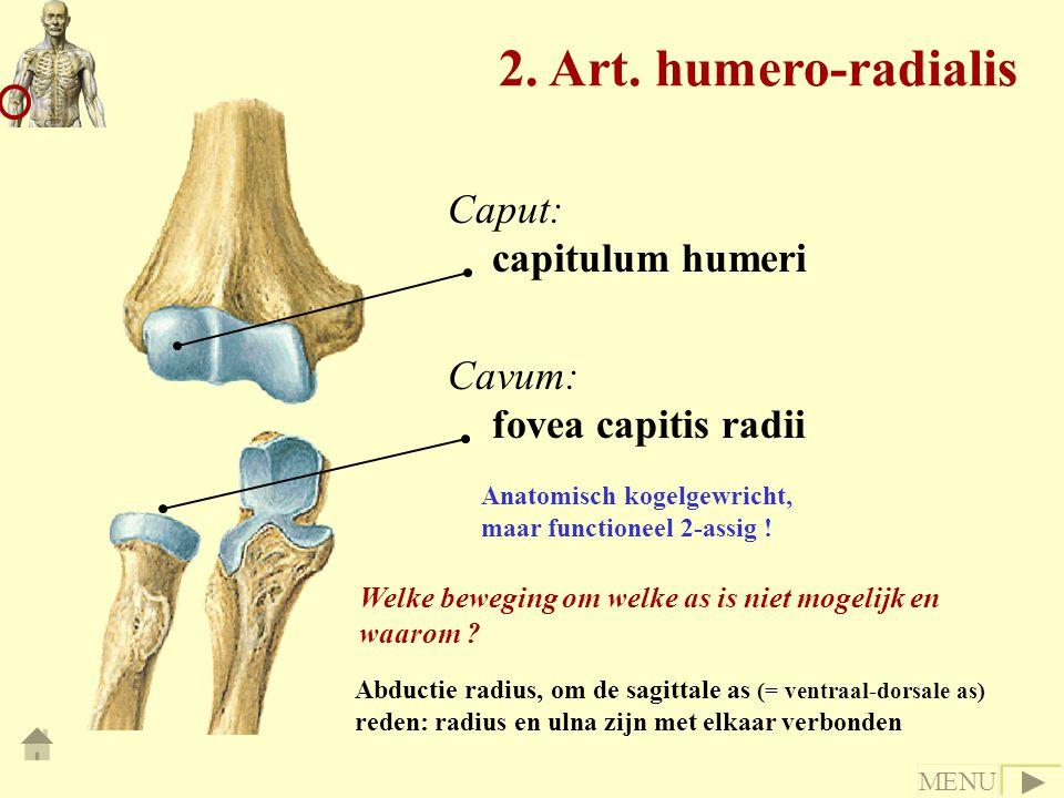 2. Art. humero-radialis Caput: capitulum humeri Cavum: