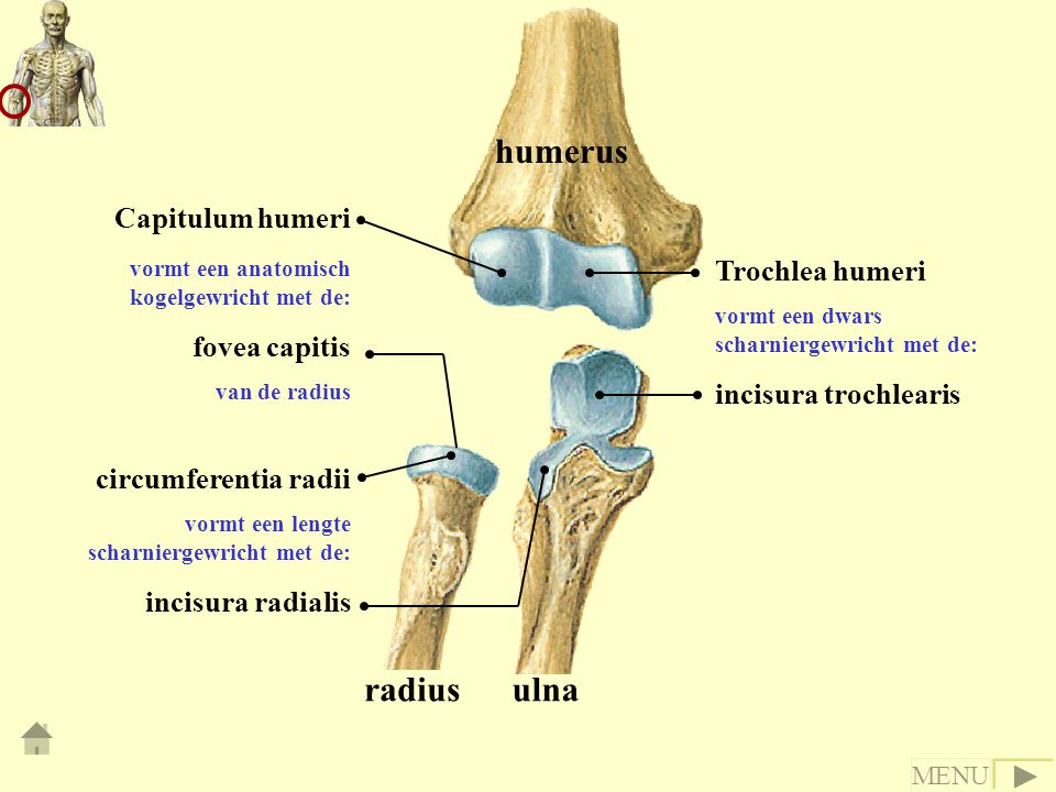 humerus radius ulna Capitulum humeri fovea capitis Trochlea humeri