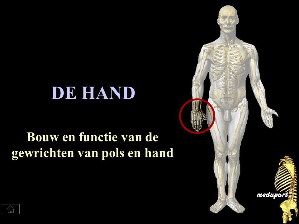 Bouw en functie van de gewrichten van pols en hand