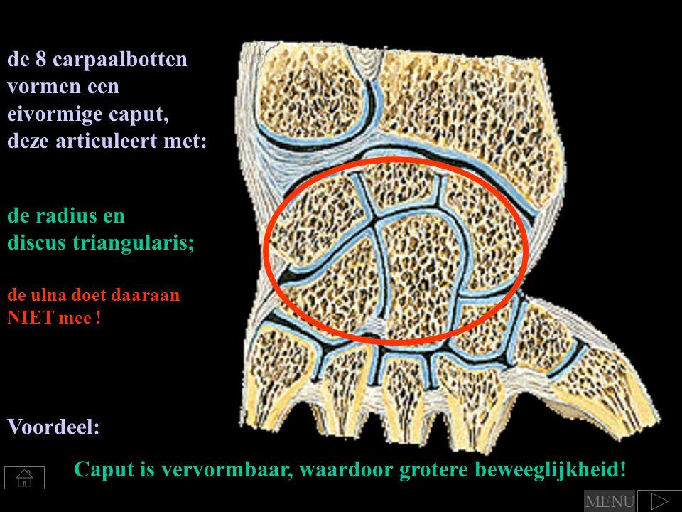 de 8 carpaalbotten vormen een eivormige caput, deze articuleert met: