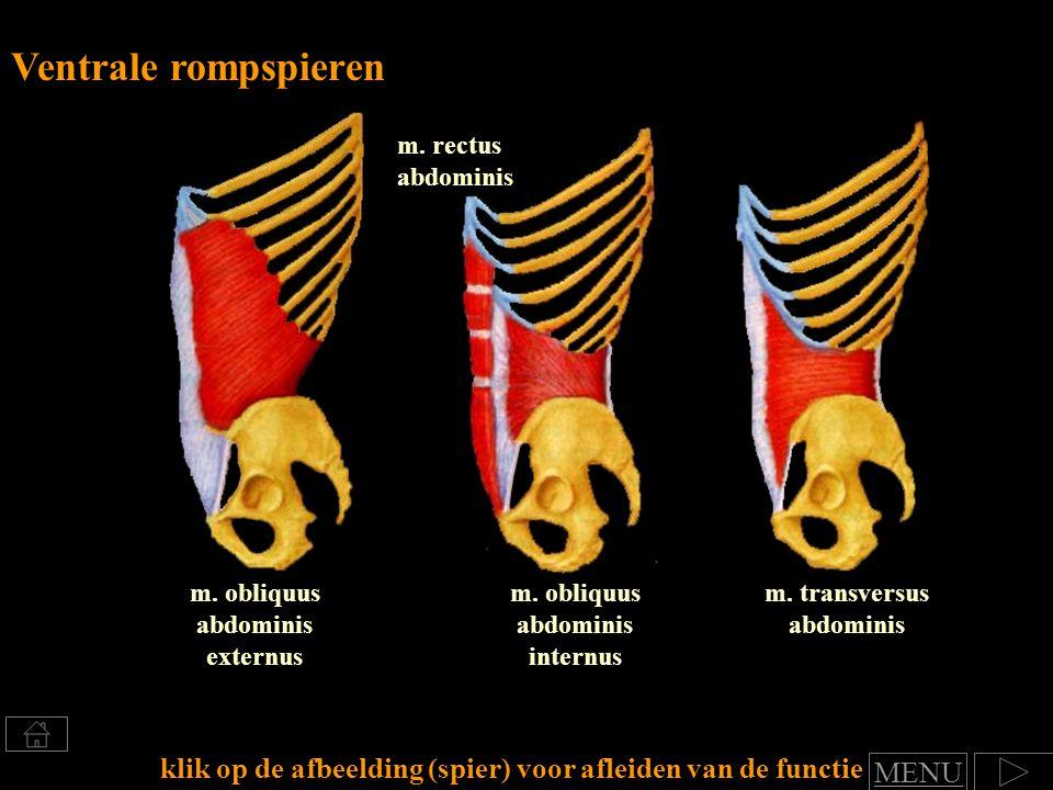 Ventrale rompspieren m. rectus abdominis. m. obliquus abdominis externus. m. obliquus abdominis internus.