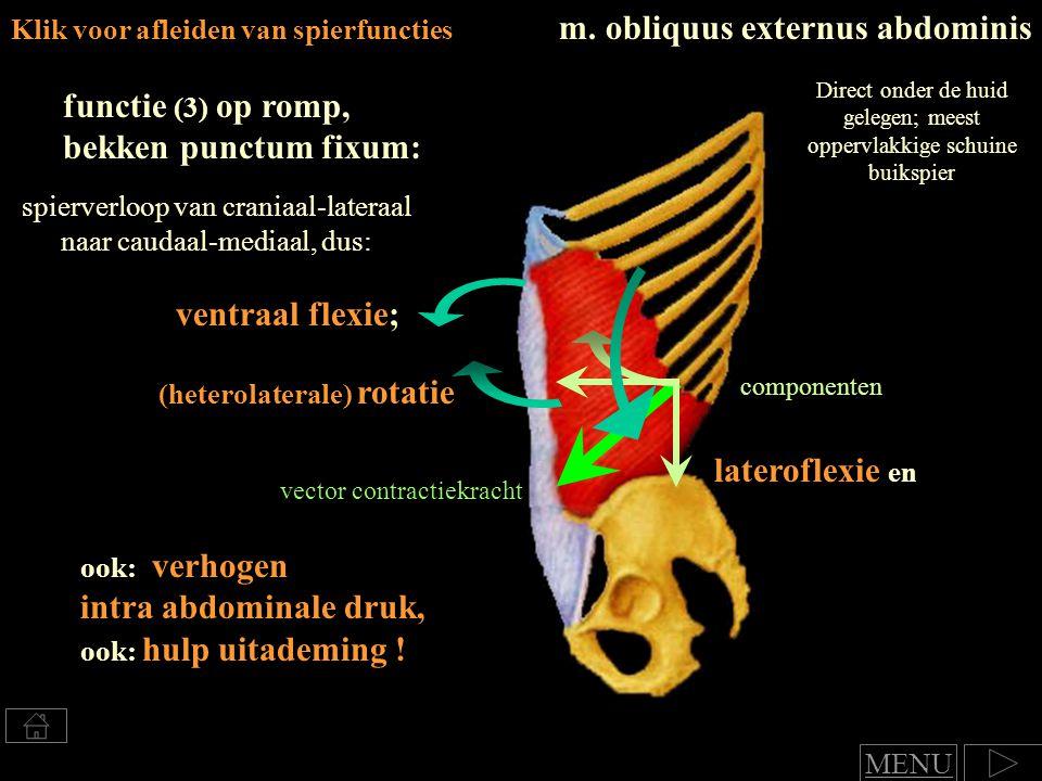 m. obliquus externus abdominis