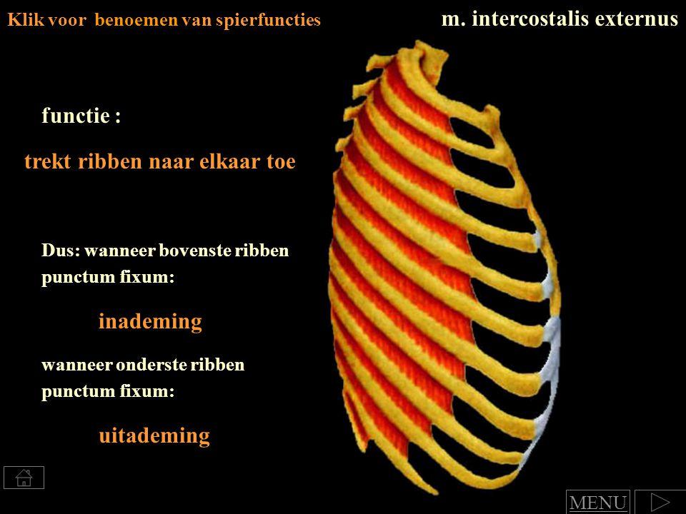 m. intercostalis externus