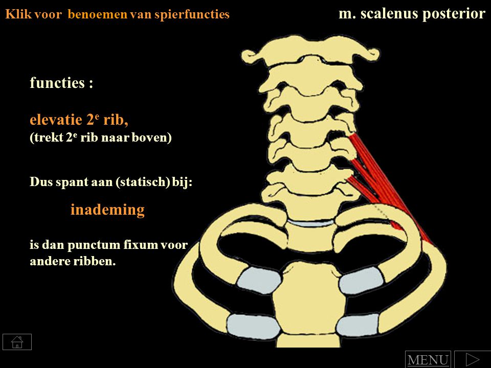 m. scalenus posterior functies : elevatie 2e rib, inademing