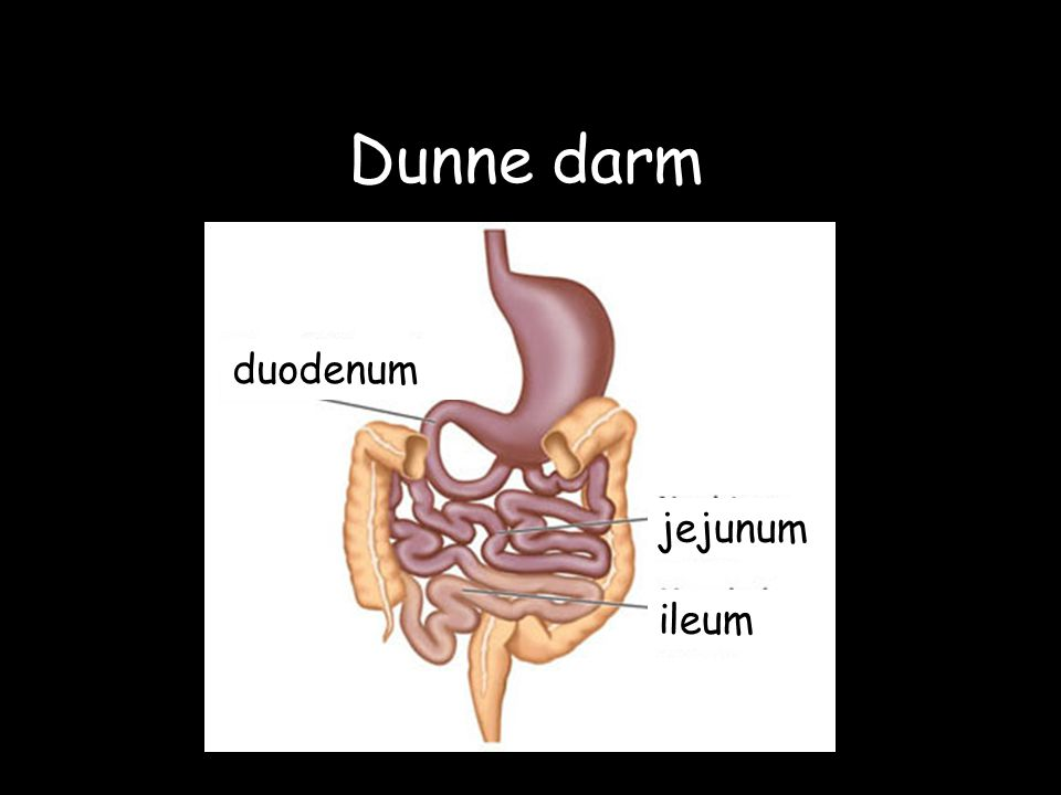 Dunne darm duodenum jejunum ileum