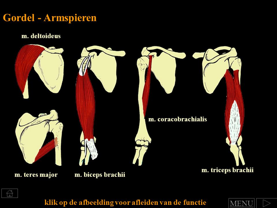 Gordel - Armspieren klik op de afbeelding voor afleiden van de functie