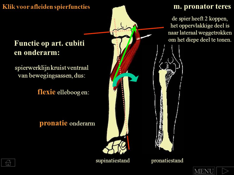 spierwerklijn kruist ventraal van bewegingsassen, dus: