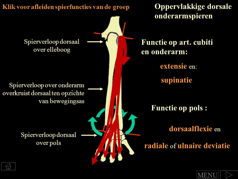 Oppervlakkige dorsale onderarmspieren
