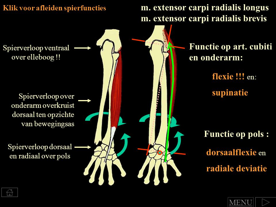 m. extensor carpi radialis longus m. extensor carpi radialis brevis