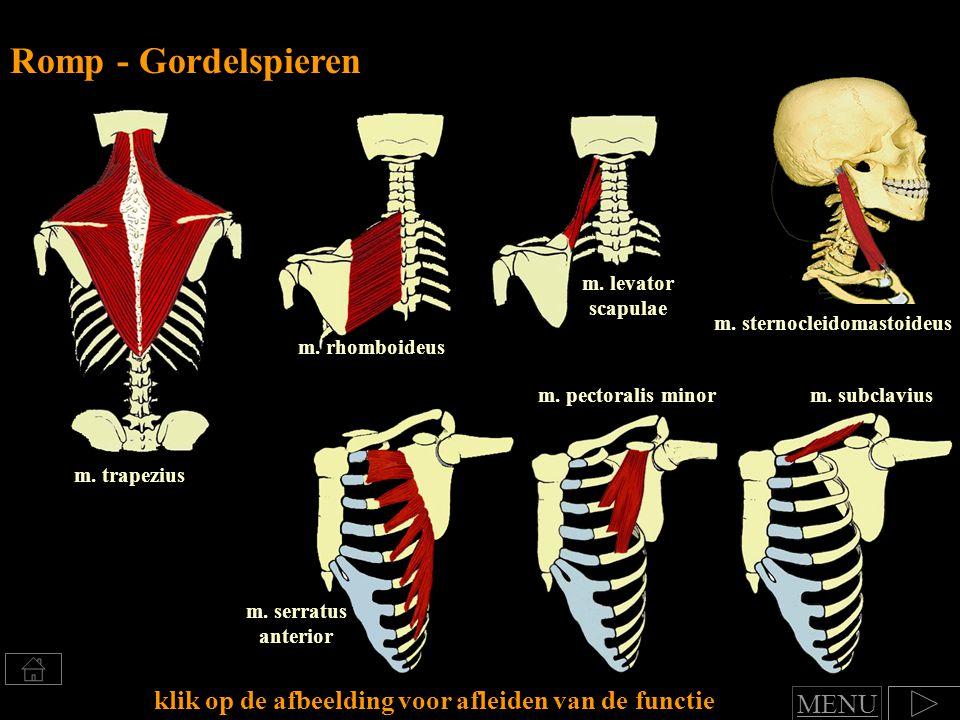 Romp - Gordelspieren m. levator scapulae. m. sternocleidomastoideus. m. rhomboideus. m. pectoralis minor.
