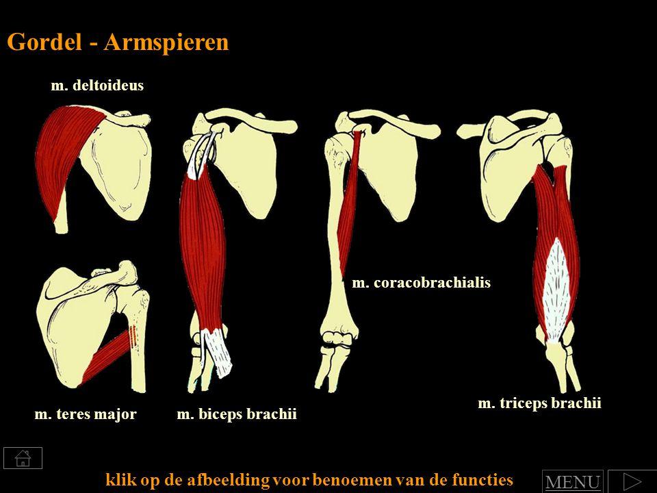 Gordel - Armspieren m. deltoideus. m. coracobrachialis. m. triceps brachii. m. teres major. m. biceps brachii.