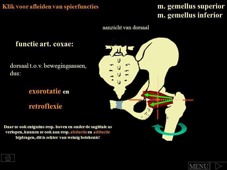 m. gemellus superior m. gemellus inferior functie art. coxae: