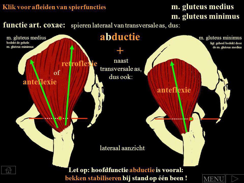 abductie + m. gluteus medius m. gluteus minimus functie art. coxae: