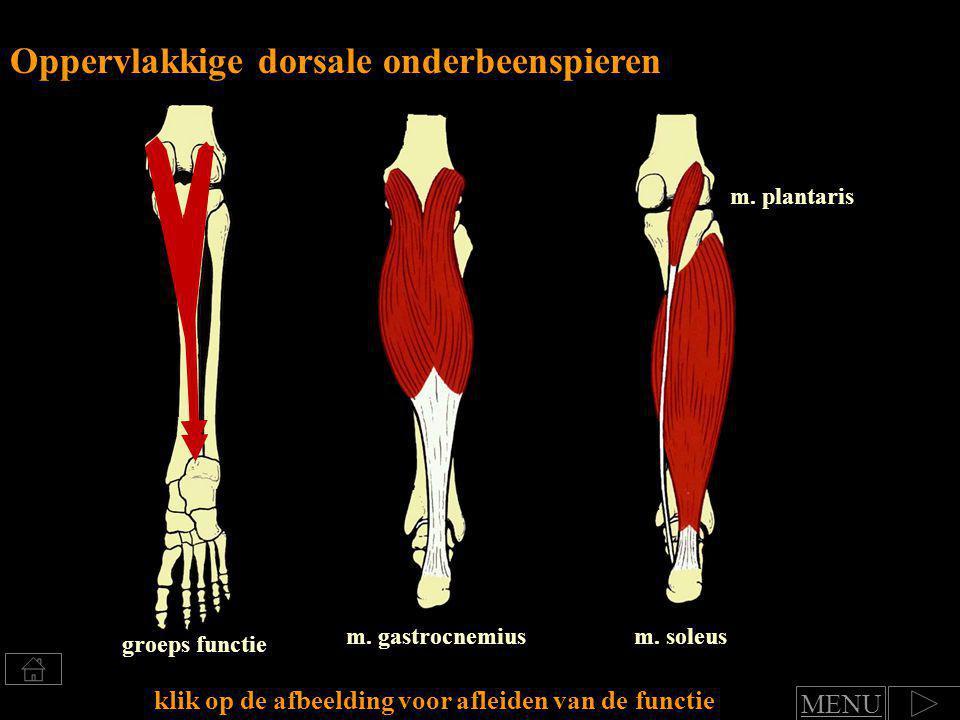 Oppervlakkige dorsale onderbeenspieren