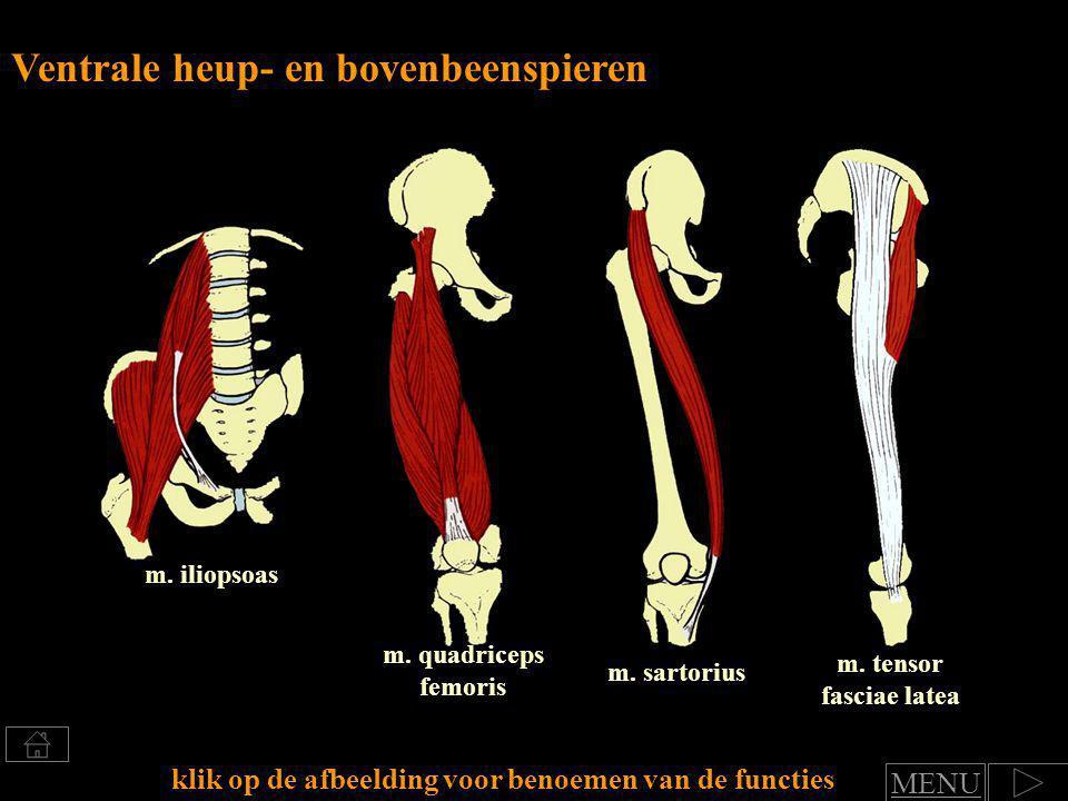 Ventrale heup- en bovenbeenspieren