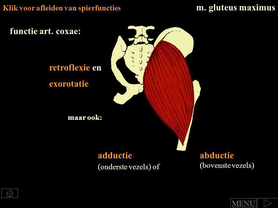 adductie (onderste vezels) of abductie (bovenste vezels)