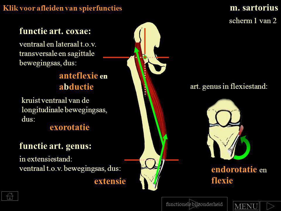 m. sartorius functie art. coxae: anteflexie en abductie exorotatie