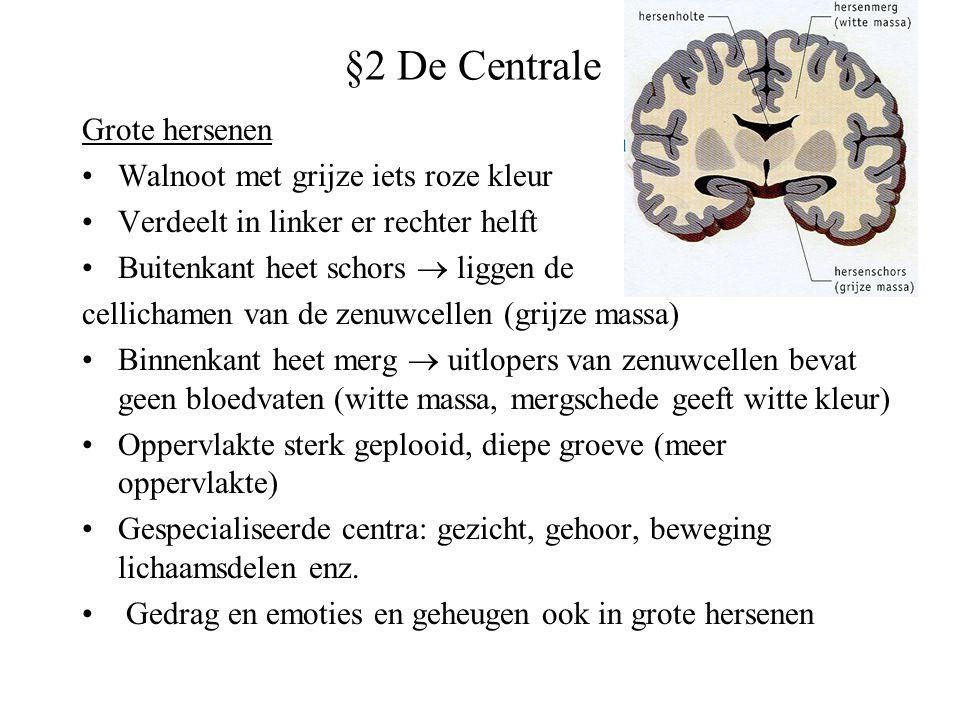 §2 De Centrale Grote hersenen Walnoot met grijze iets roze kleur