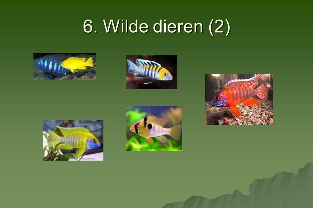 6. Wilde dieren (2) Malawi is het meest beroemd om zijn tropische vissen.