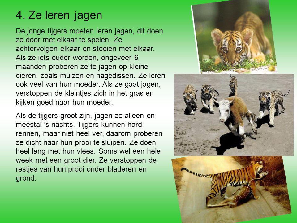 een tijger eet een prooi
