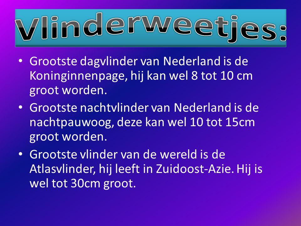 Vlinderweetjes: Grootste dagvlinder van Nederland is de Koninginnenpage, hij kan wel 8 tot 10 cm groot worden.