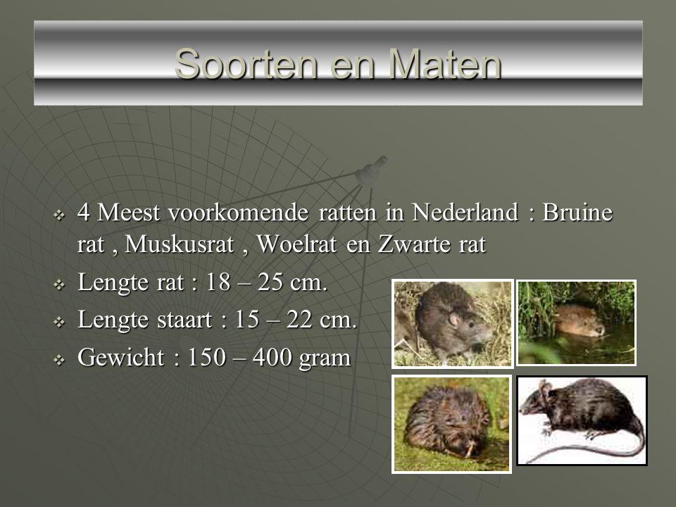 Soorten en Maten 4 Meest voorkomende ratten in Nederland : Bruine rat , Muskusrat , Woelrat en Zwarte rat.