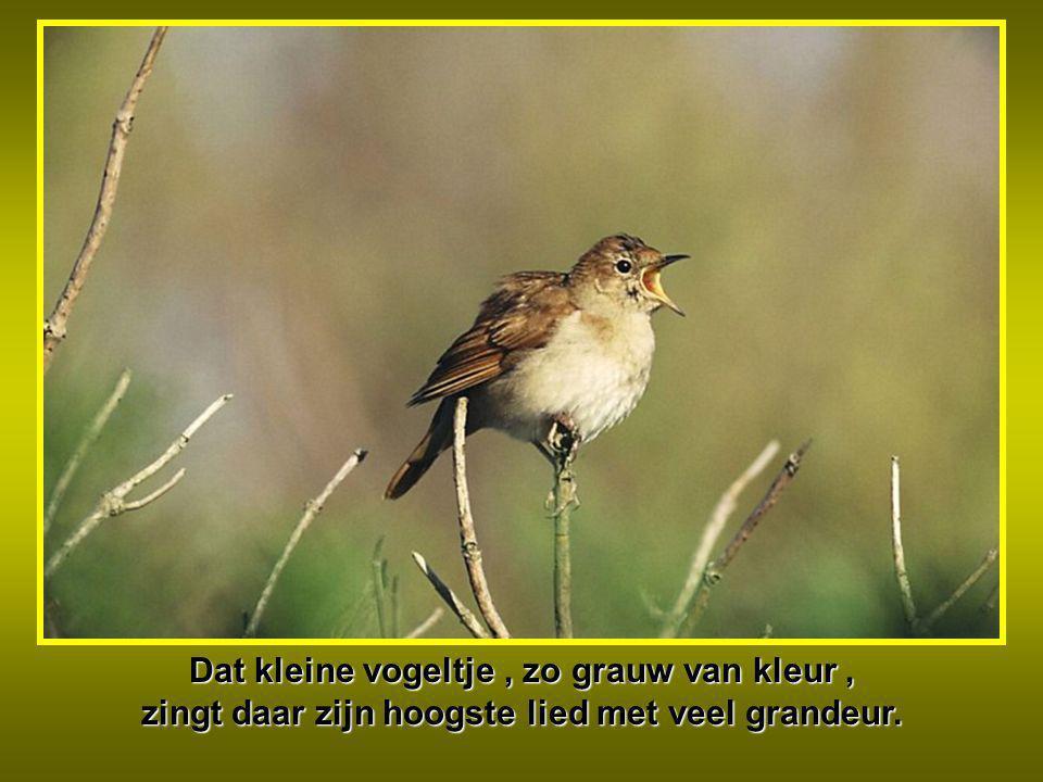 Dat kleine vogeltje , zo grauw van kleur , zingt daar zijn hoogste lied met veel grandeur.