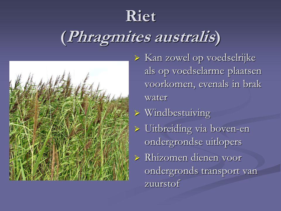 Riet (Phragmites australis)