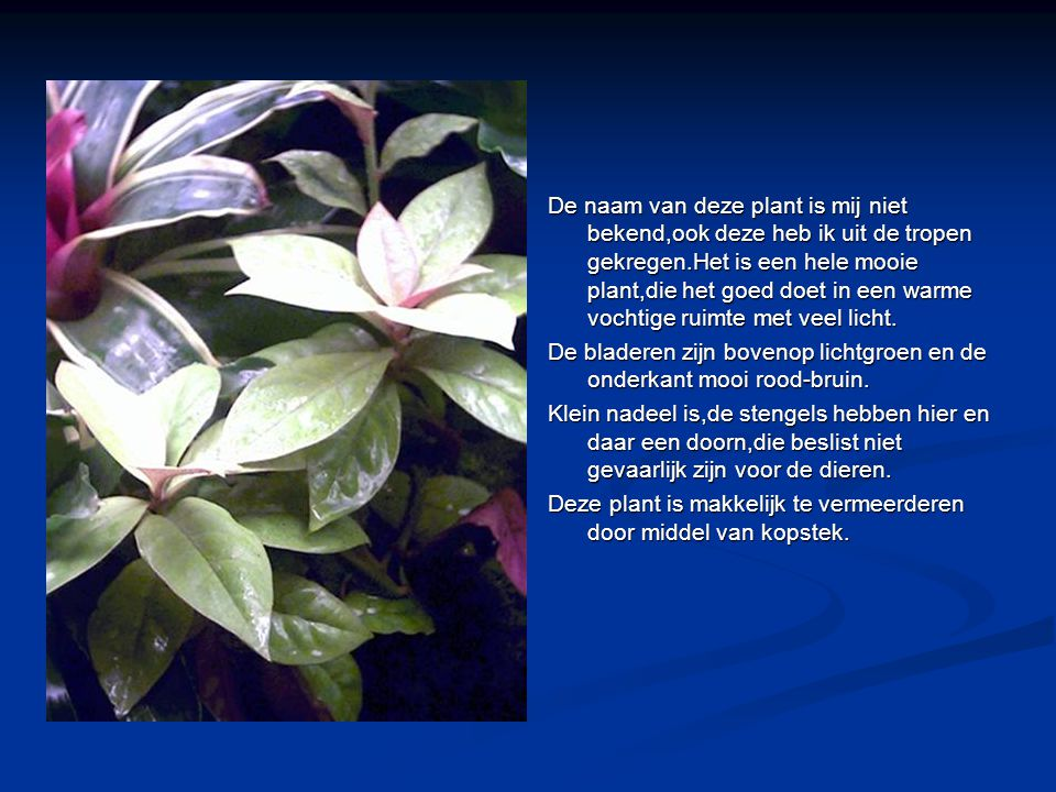 De naam van deze plant is mij niet bekend,ook deze heb ik uit de tropen gekregen.Het is een hele mooie plant,die het goed doet in een warme vochtige ruimte met veel licht.