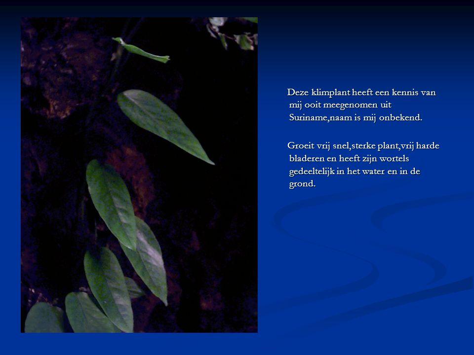 Deze klimplant heeft een kennis van mij ooit meegenomen uit Suriname,naam is mij onbekend.