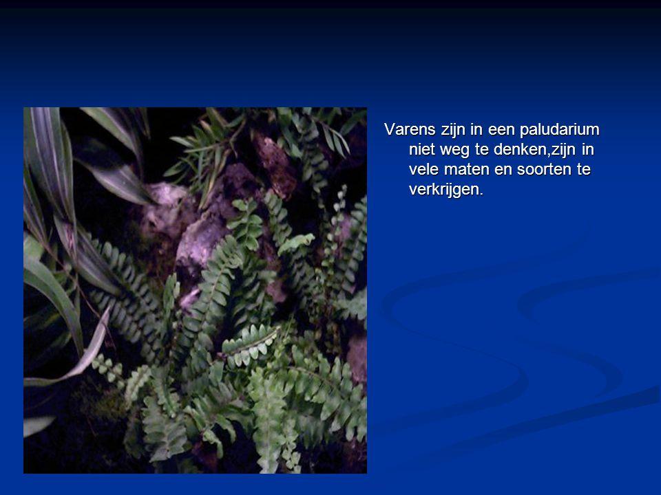 Varens zijn in een paludarium niet weg te denken,zijn in vele maten en soorten te verkrijgen.