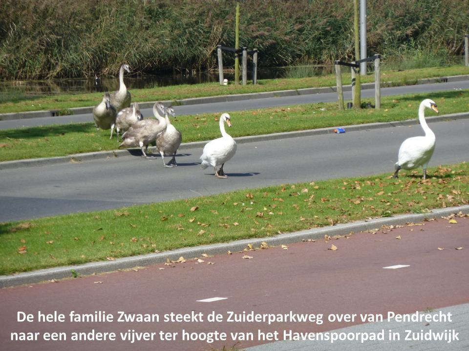De hele familie Zwaan steekt de Zuiderparkweg over van Pendrecht
