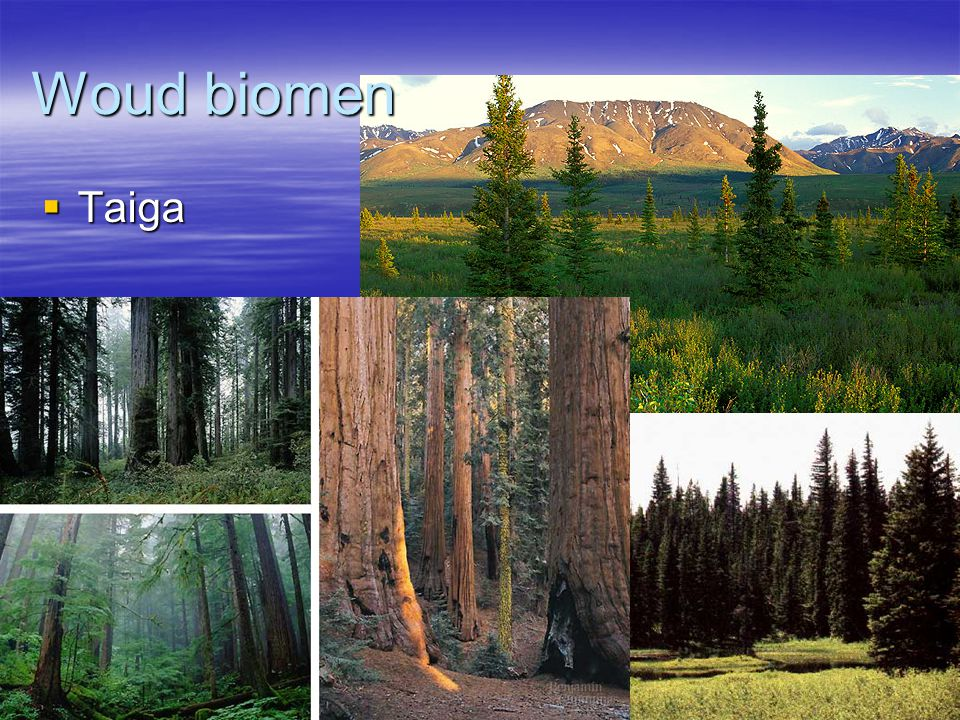 Woud biomen Taiga
