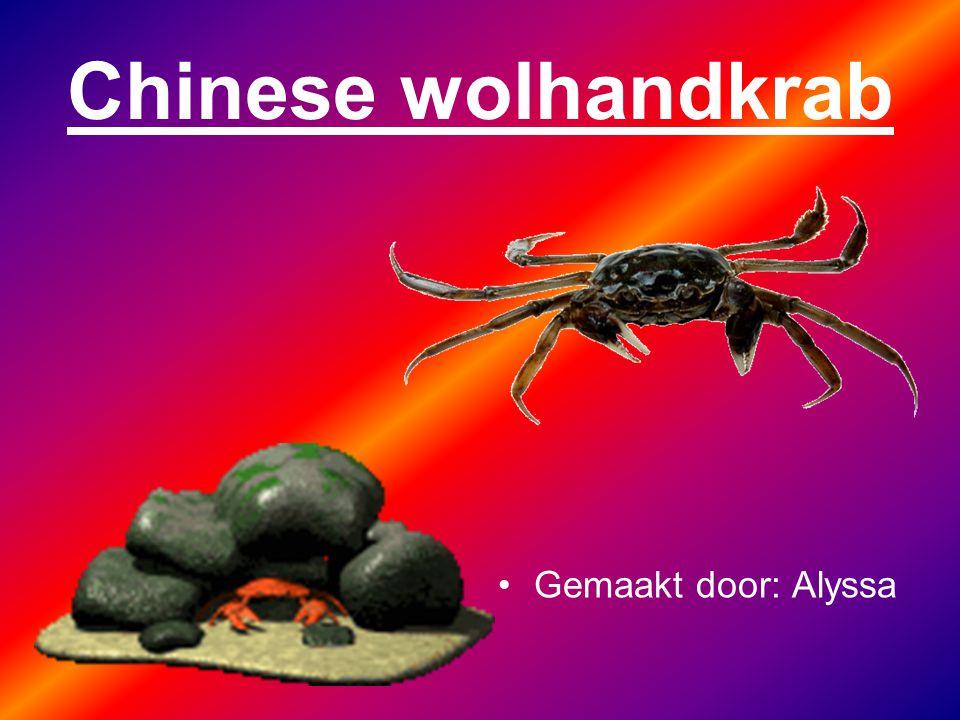Chinese wolhandkrab Gemaakt door: Alyssa