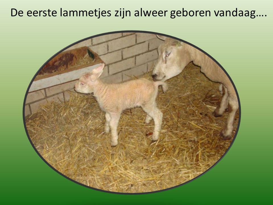 De eerste lammetjes zijn alweer geboren vandaag….