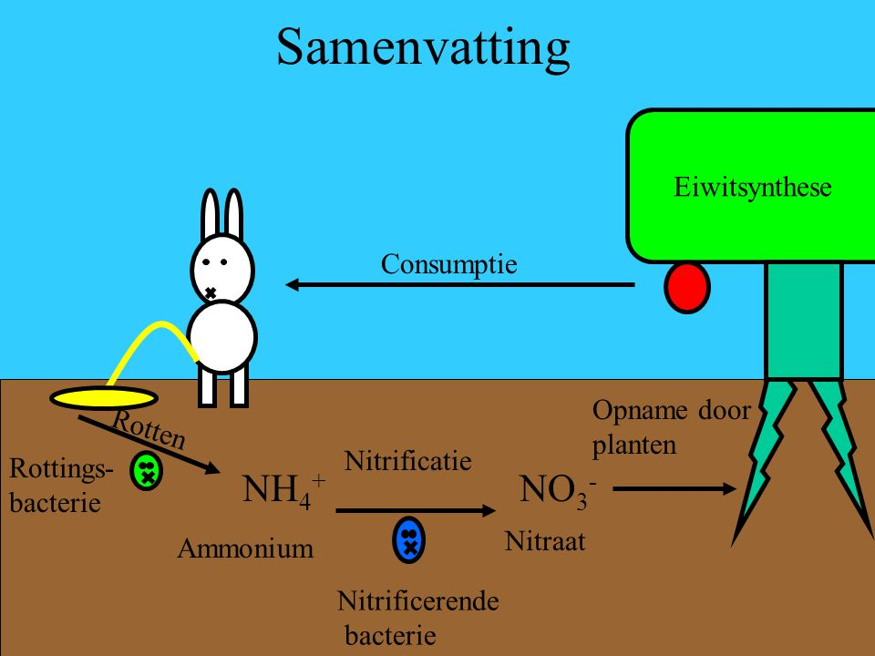 Samenvatting NH4+ NO3- Eiwitsynthese Consumptie Opname door Rotten