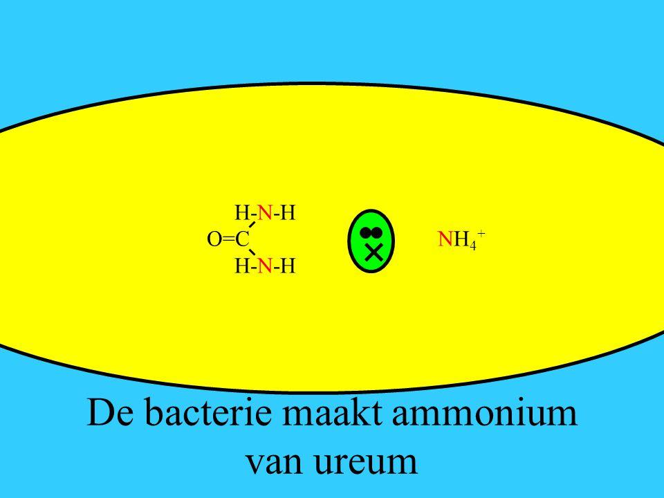 De bacterie maakt ammonium van ureum