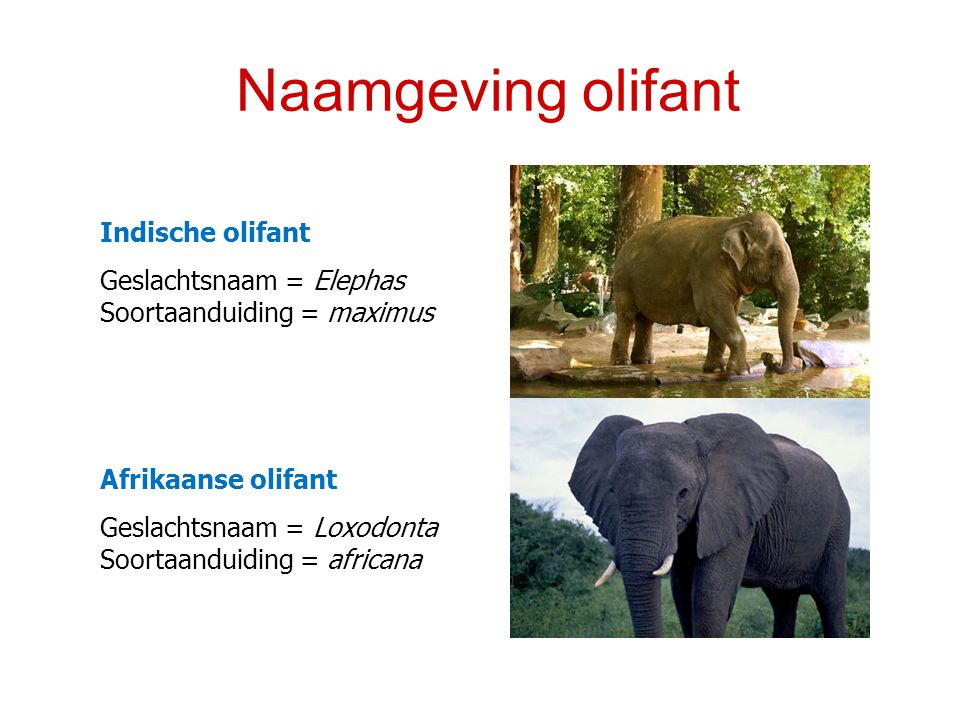 Naamgeving olifant Indische olifant