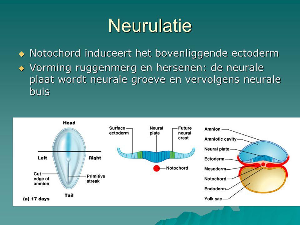 Neurulatie Notochord induceert het bovenliggende ectoderm