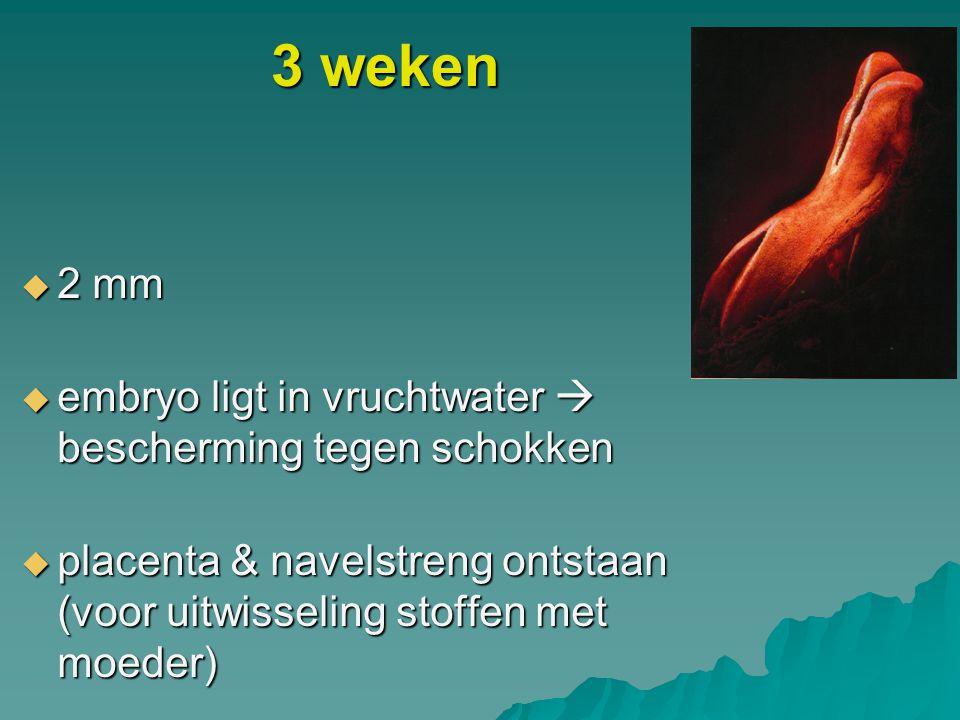 3 weken 2 mm embryo ligt in vruchtwater  bescherming tegen schokken