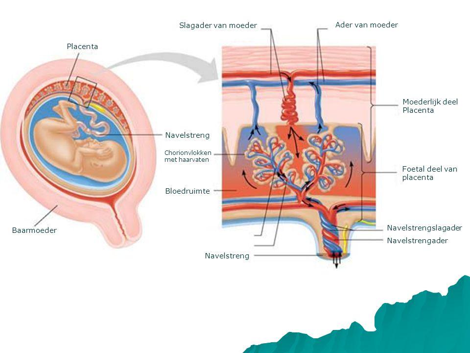 Slagader van moeder Ader van moeder Placenta Moederlijk deel Placenta
